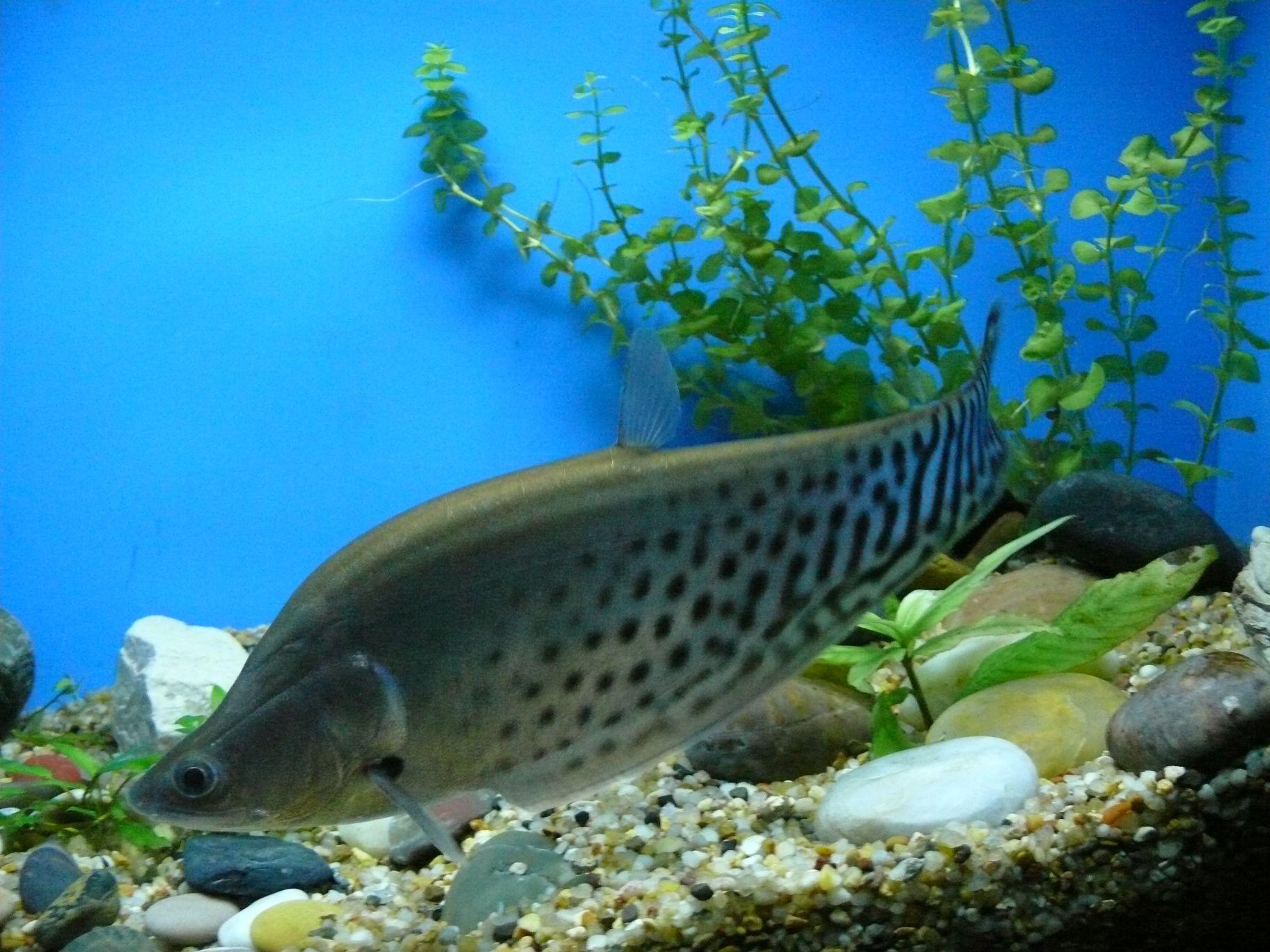 shanghai-ocean-aquarium-chitala-blanci.jpg