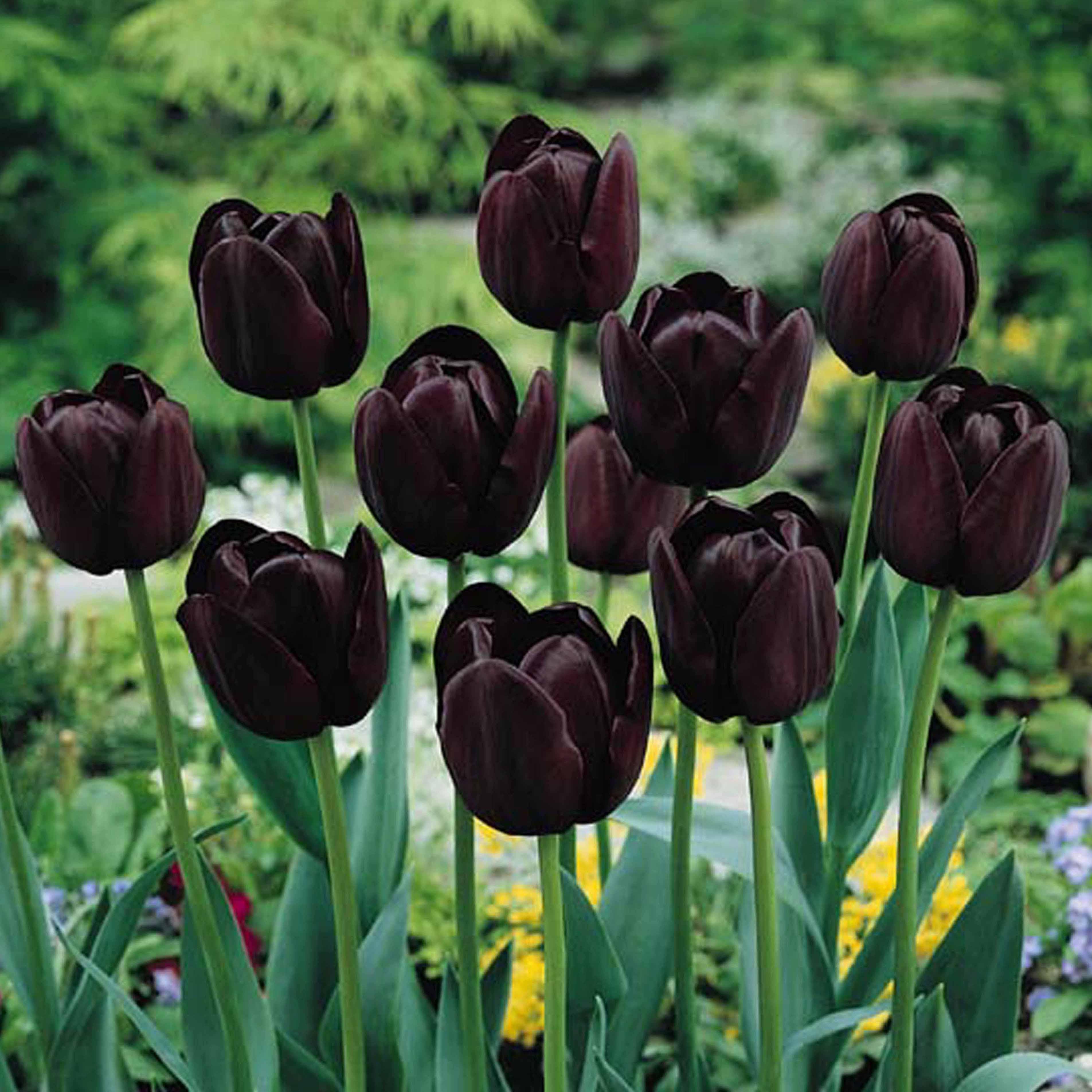 Dráma a kertben, avagy top10 fekete növény