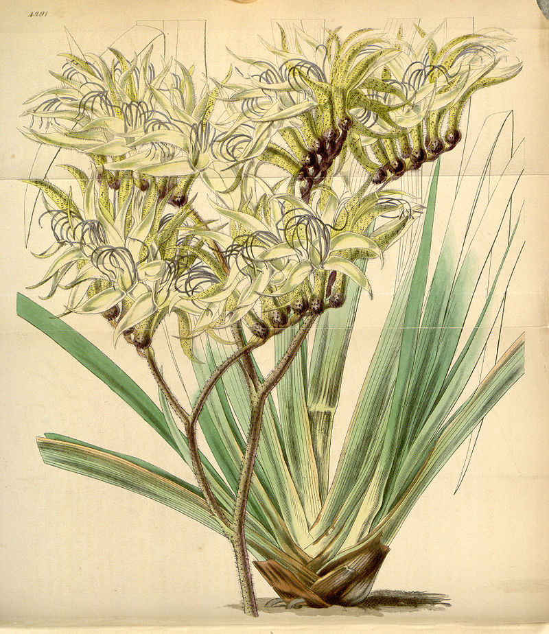 800px-curtis_s_botanical_magazine_plate_4291_volume_73_1847.jpg
