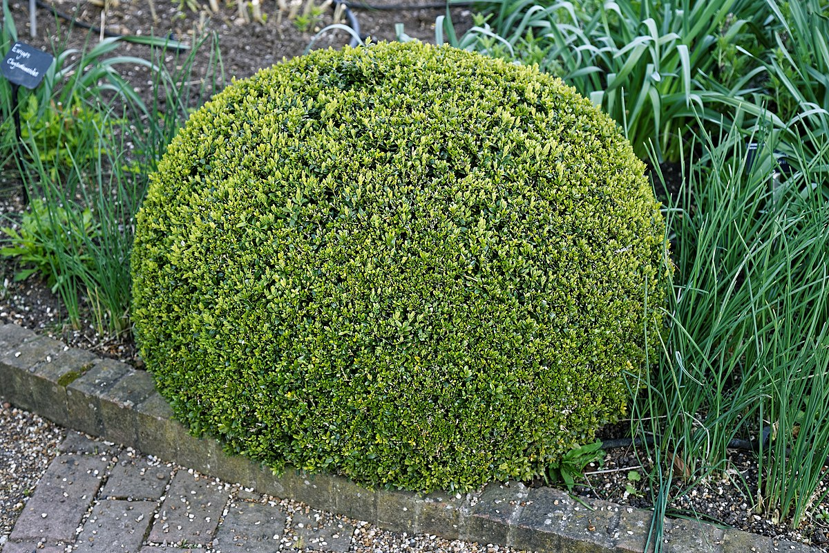1200px-buxus_sempervirens_topiary_at_rhs_garden_hyde_hall_essex_england.jpg
