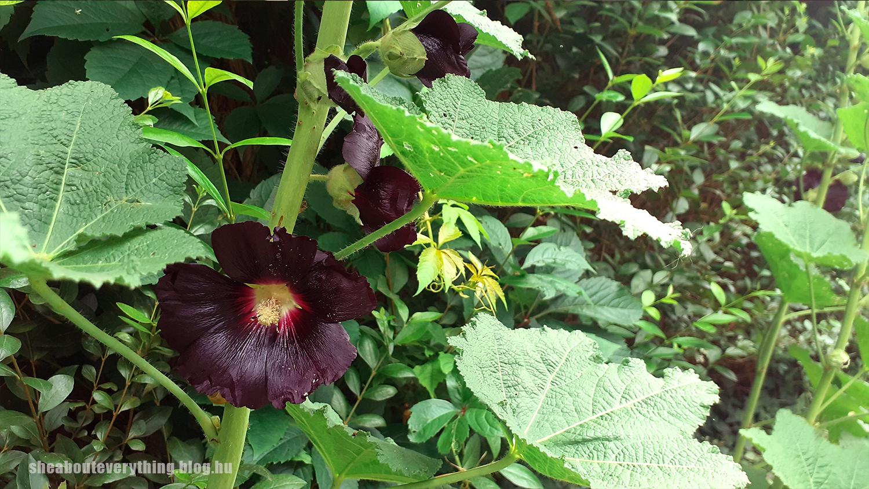 16-fekete-malyva-alcea-rosea.jpg