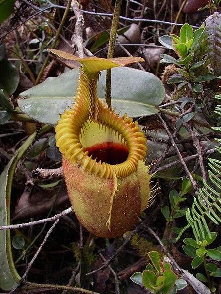 Kancsóka (Nephentes Villosa - felföldi kancsóka fajok<br />Forrás: Wikipédia