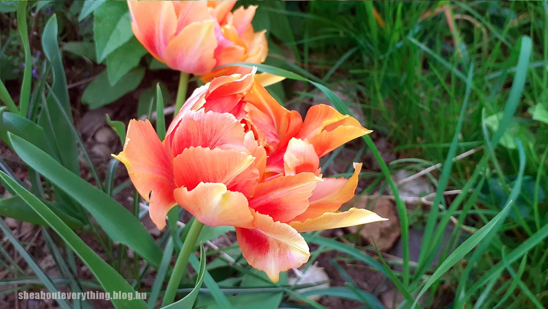 Valamilyen tulipán, hirtelen felindulásból