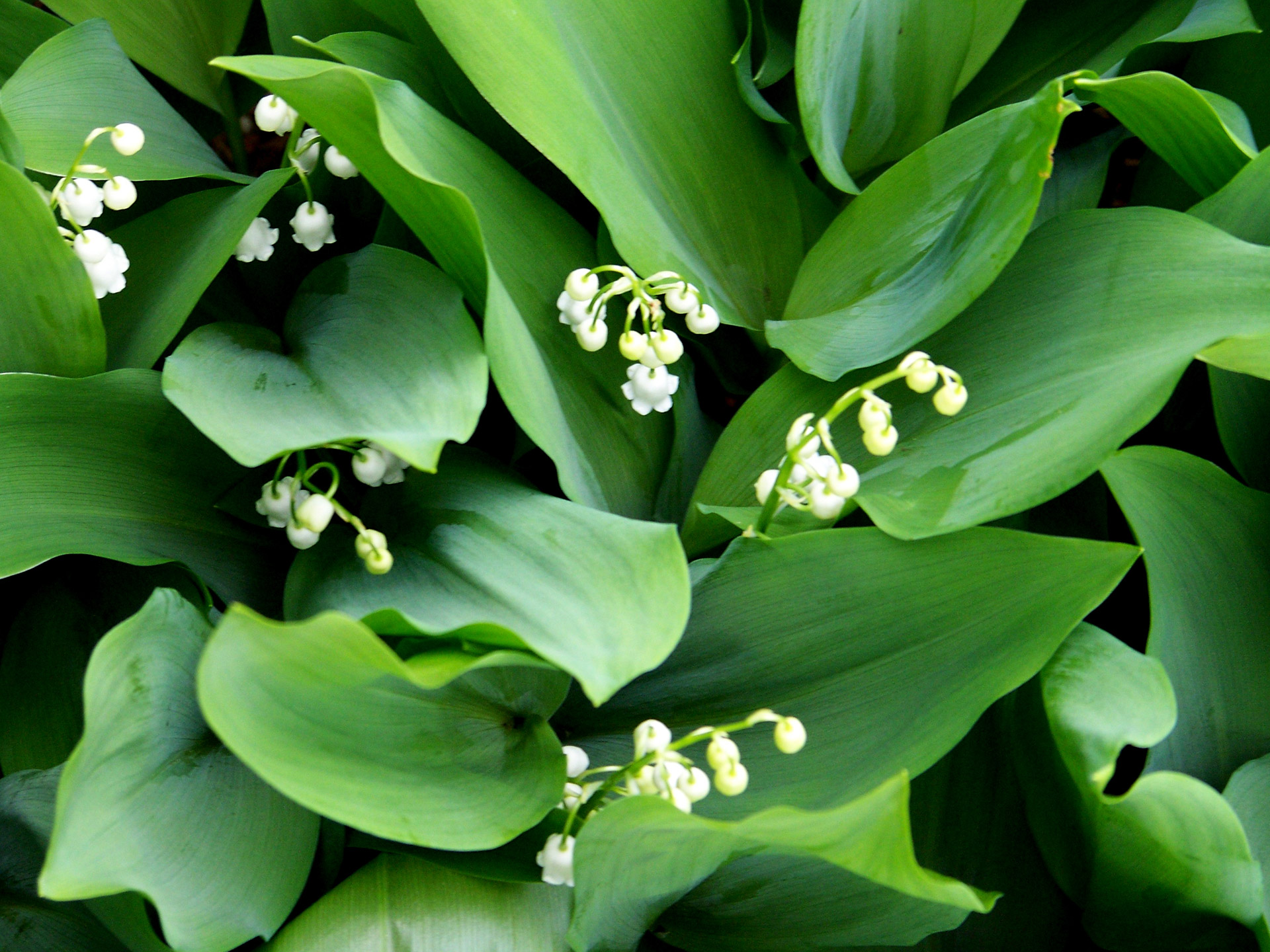 lilies-of-the-valley.jpg