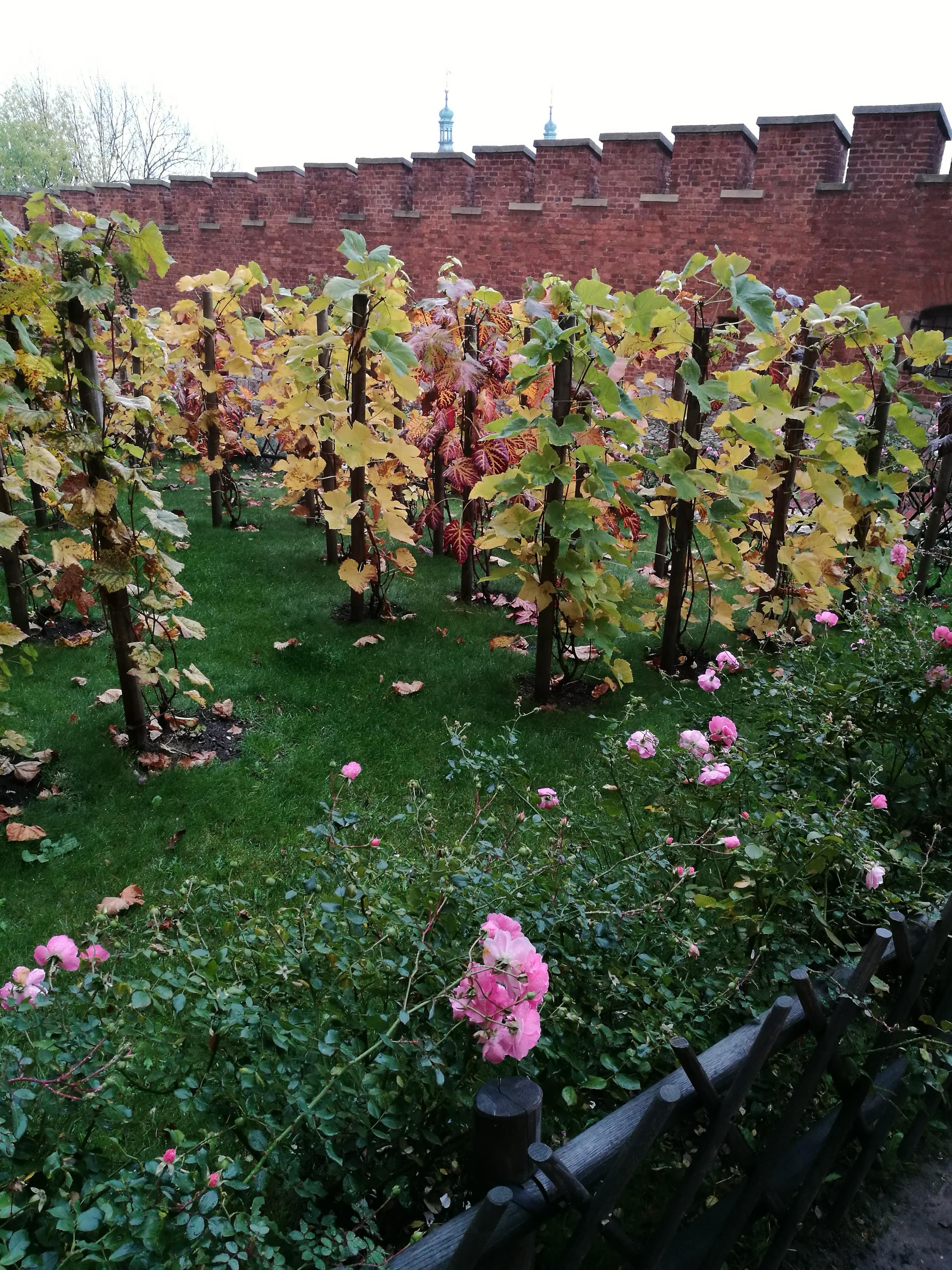 A királyi szőlős kert