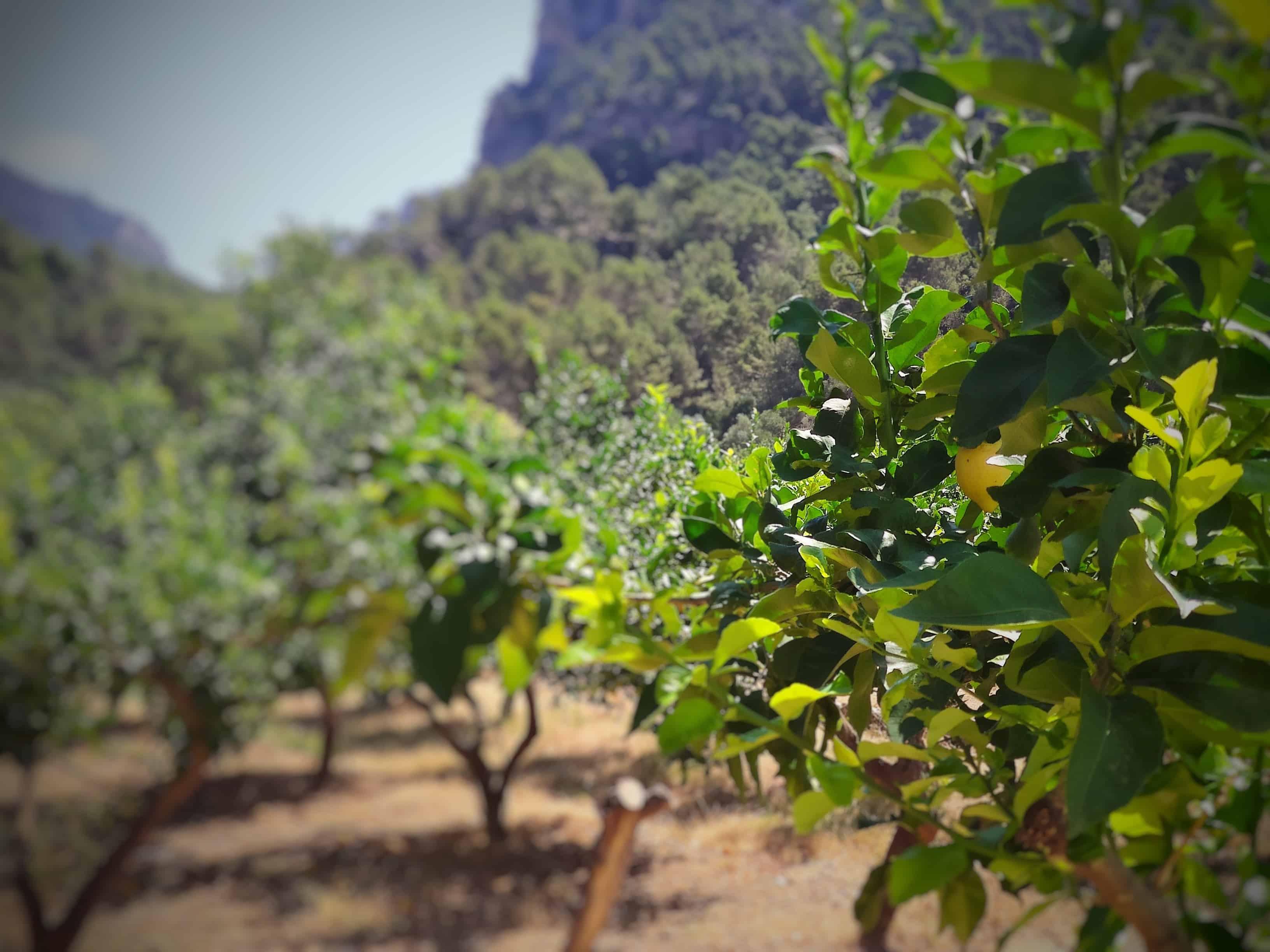 A gyümölcsös