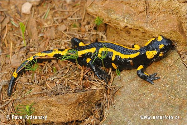 foltos-szalamandra-1637.jpg