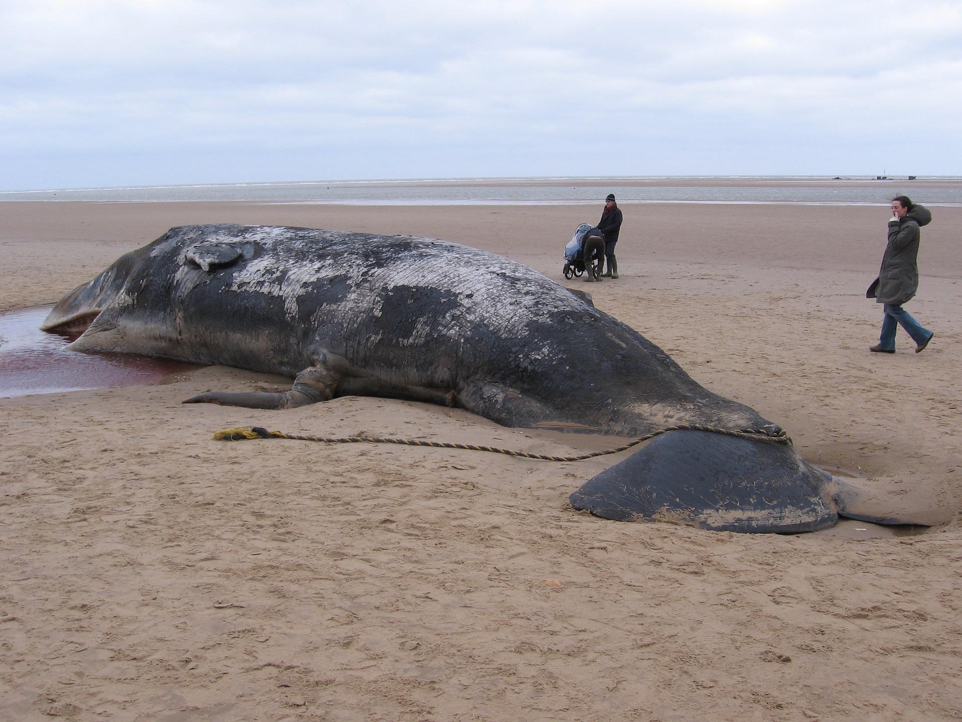 sperm-whale-904349_1920.jpg