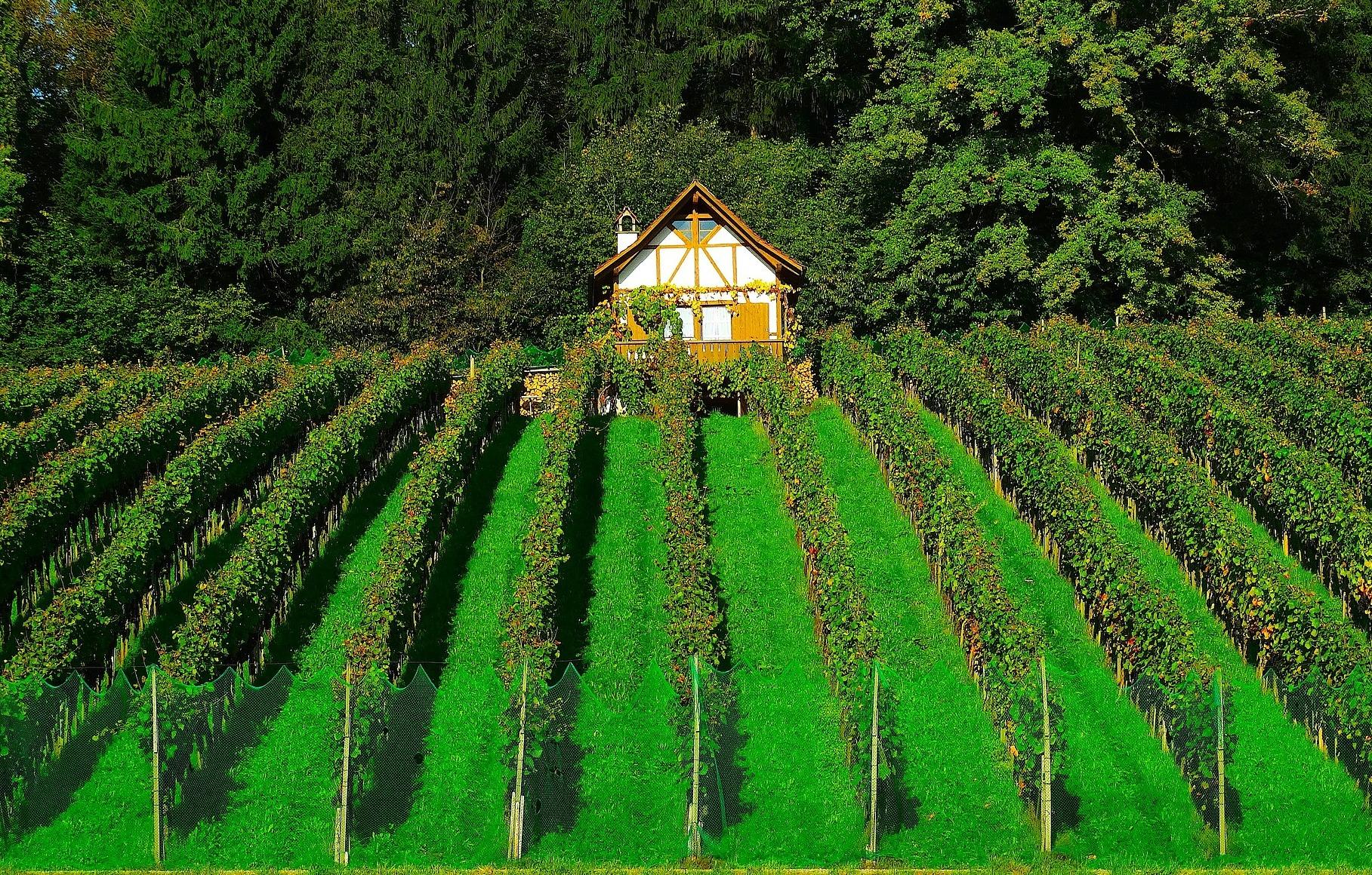 vineyard-464181_1920.jpg