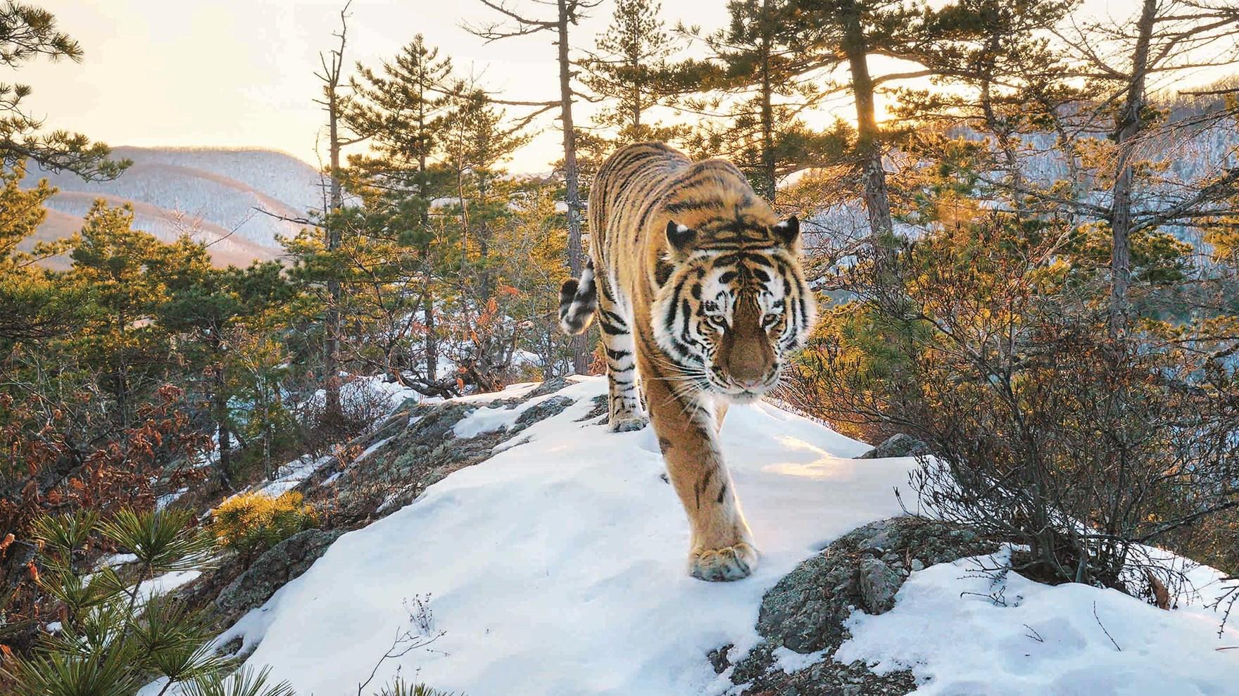 sziberiai_tigris_kieran_o_donovan.jpg