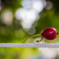 Ezért nem tudnak elhízni a hangyák