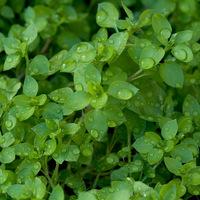 10 ehető gyomnövény: a gazok sem feltétlenül haszontalanok