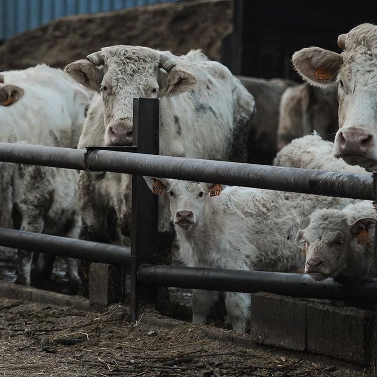Hogyan járul hozzá a marhahúsfogyasztás a globális felmelegedéshez?