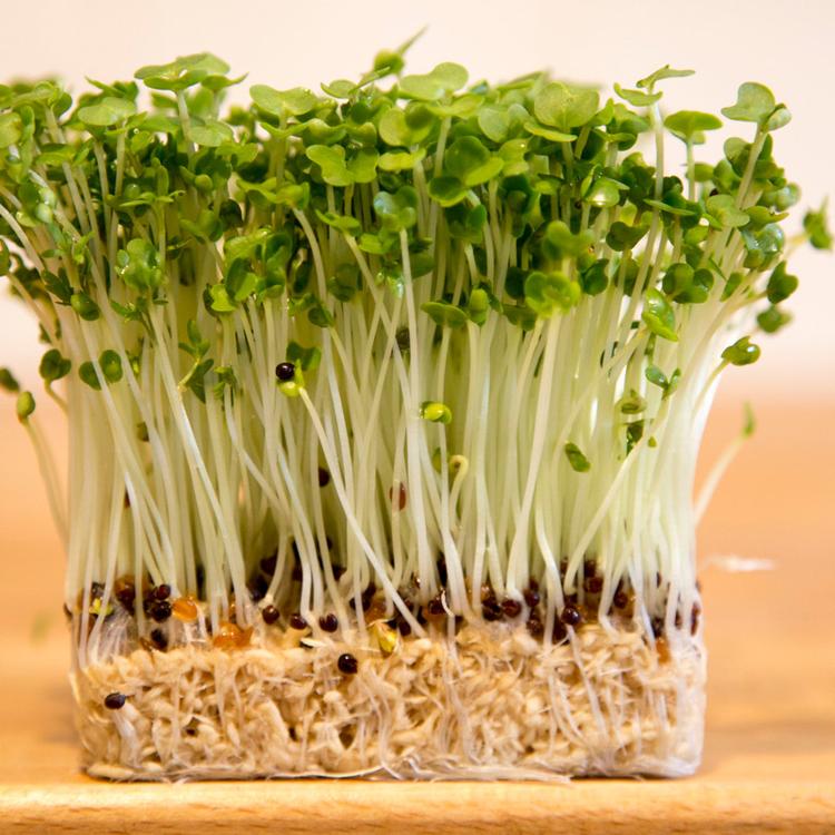 Mi az a kerti zsázsa, és miért termesszük otthon? Nagyon egészséges a mikrozöld