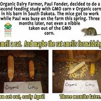 A patkánynak sem kell a génmódosított élelmiszer