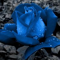 Kék rózsát állítottak elő Japán tudósok