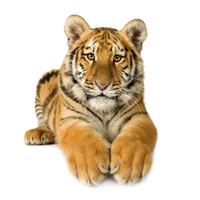 Tigris a sarokban