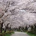 Cseresznyefa virágzás ünnepe