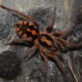 Hapalopus sp. colombia big