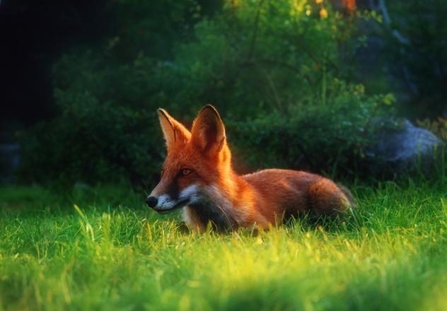 fox-1522156.jpg