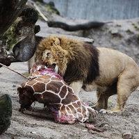 Így gondozd a zsiráfodat - állatkerti útmutató