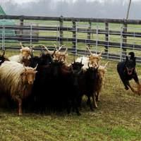 Herding Paradise Szaporca: upgraded version