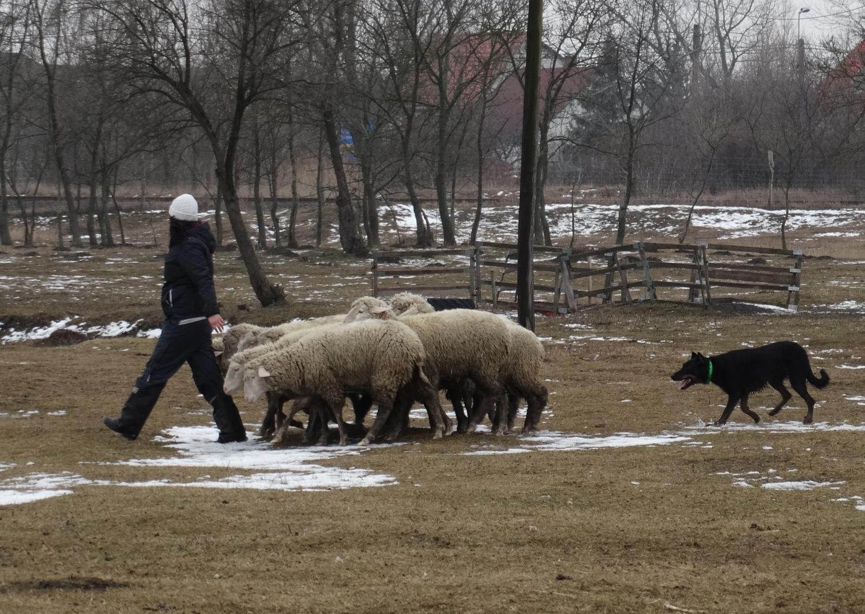 alice-troupeau-herding-beauceron.jpg