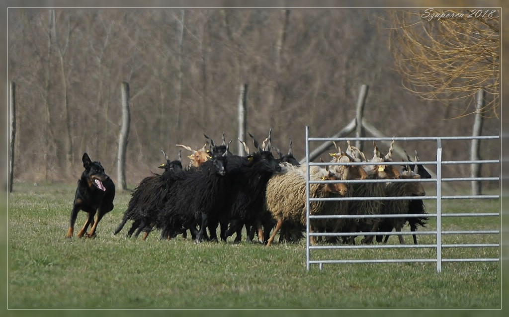 amina-herding-beauceron.jpg