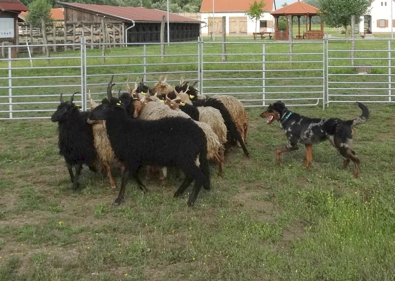 beauceron-berger-de-beauce-herding.jpg