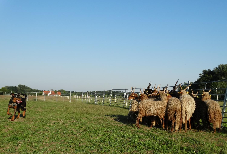 beauceron-herding-gardiens-du-chaos_2.jpg