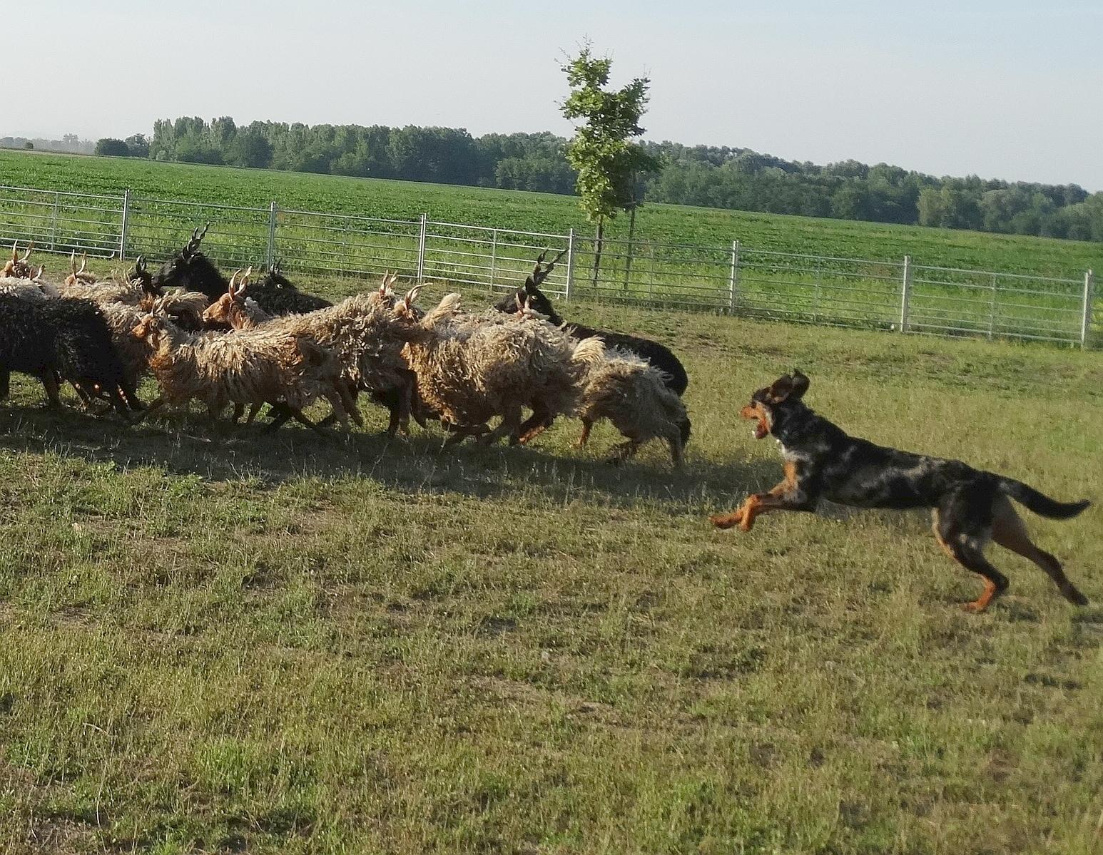 beauceron-herding-raven-gardiens-du-chaos-shepherd.jpg