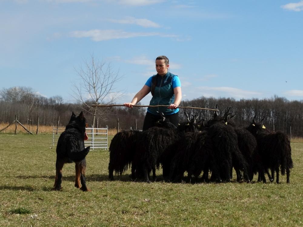 beauceron-herding-training-gardiens-du-chaos-rebelle.jpg