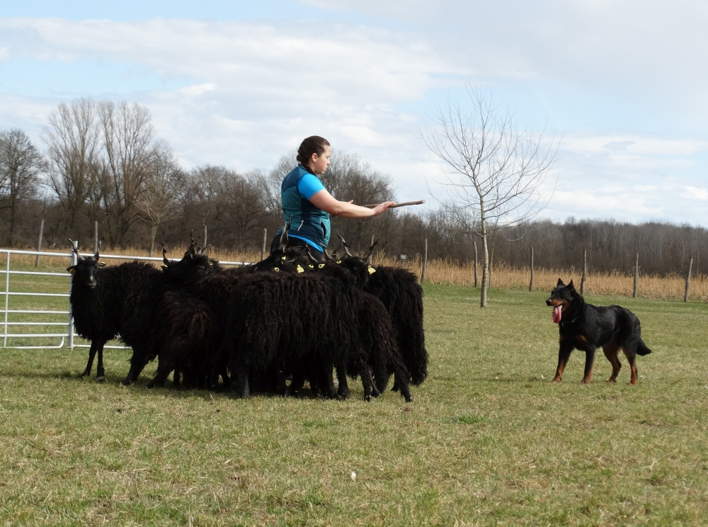 beauceron-herding-training-gardiens-du-chaos_1.jpg