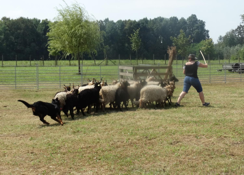 beauceron-herding-trial.jpg
