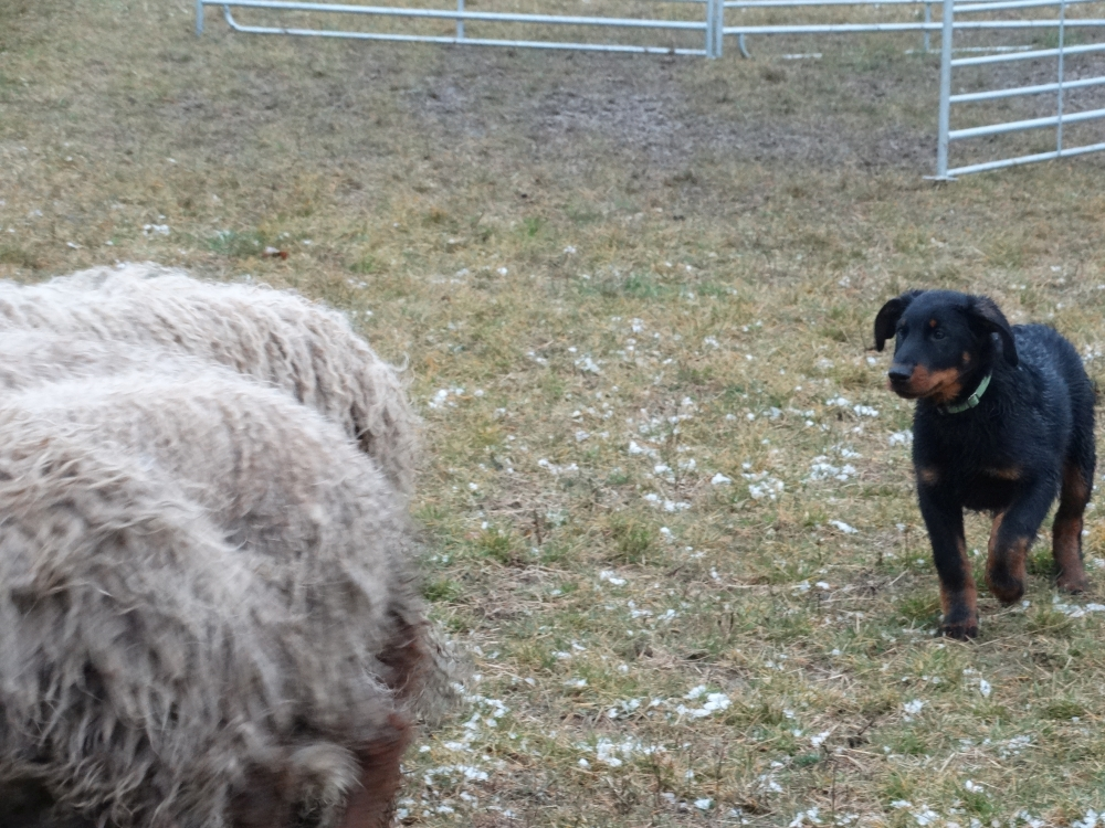 beauceron-puppy-gardiens-du-chaos-herding-training.jpg