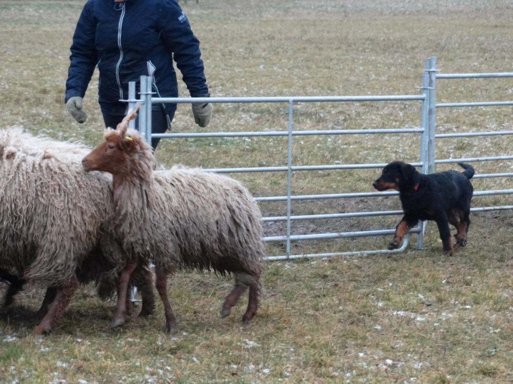 beauceron-puppy-gardiens-du-chaos-herding.jpg