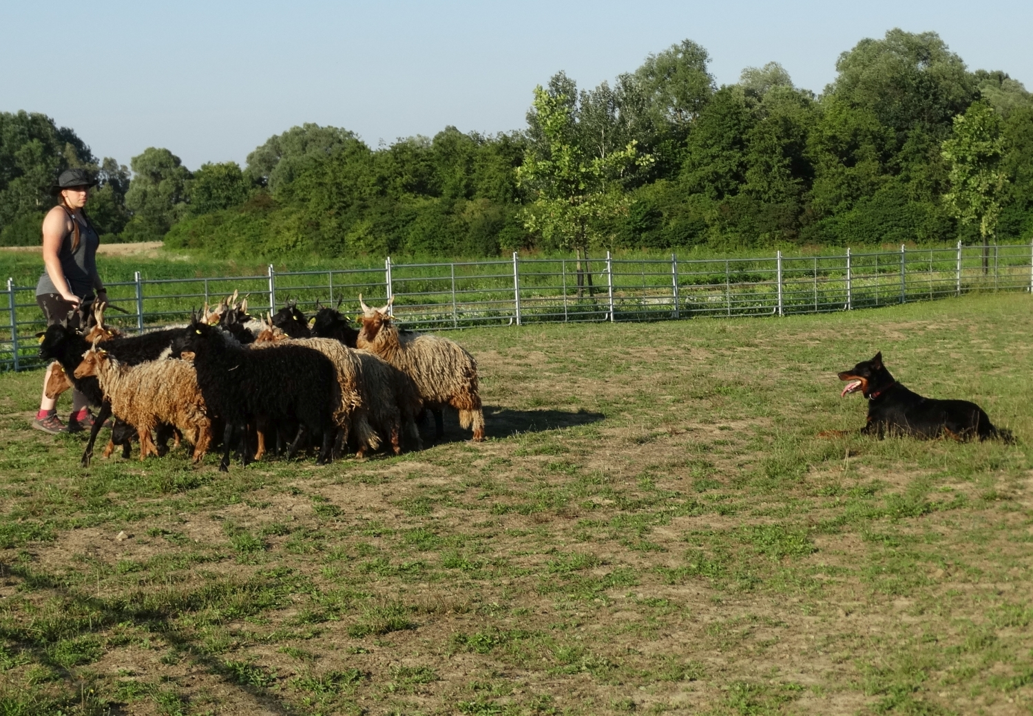 herding-training-beauceron.jpg