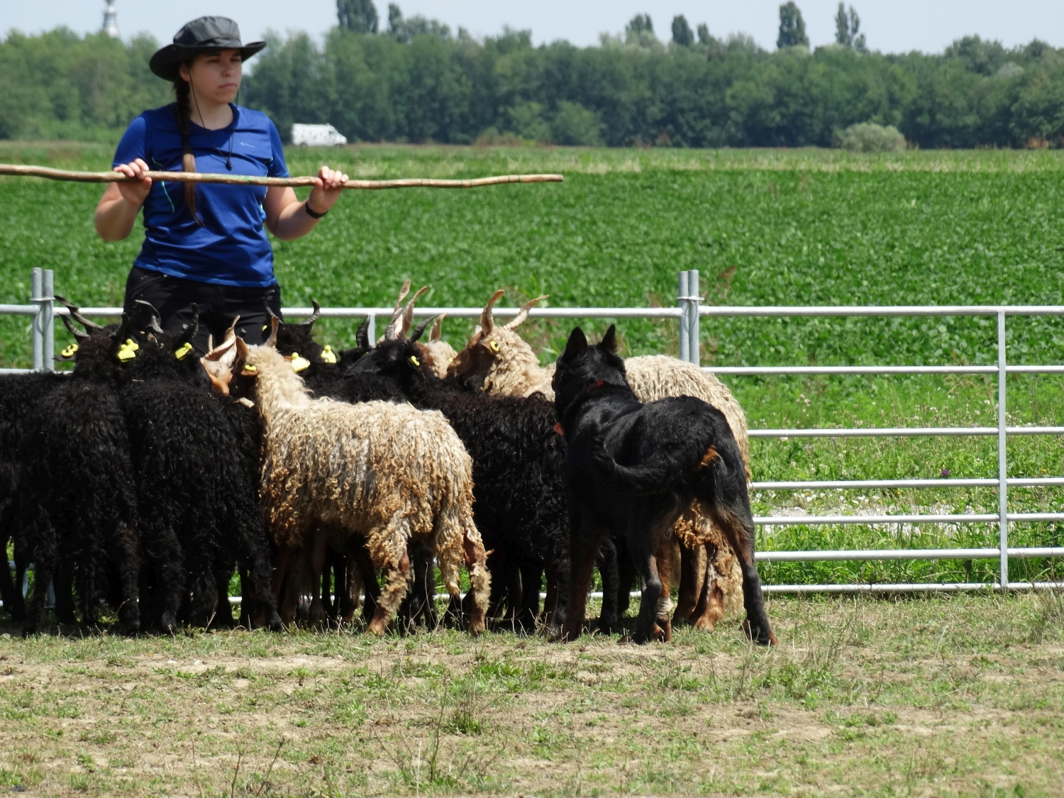 herding-training-pogo-beauceron.jpg