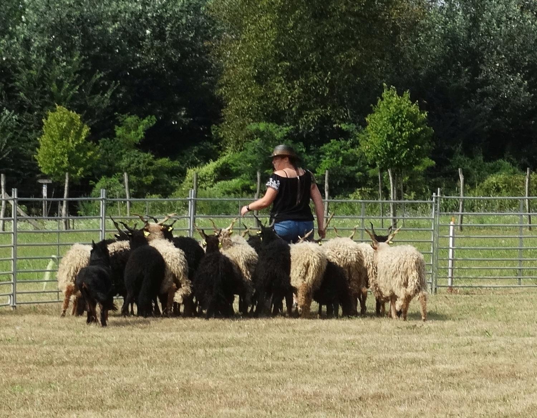 herding-trial-beauceron.jpg