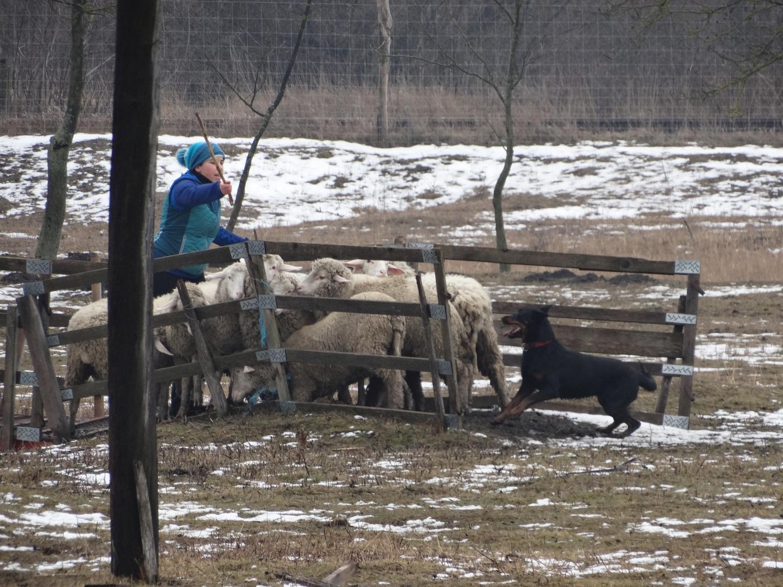 pogo-herding-beauceron-troupeau.jpg