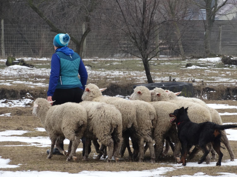 pogo-troupeau-herding-beauceron.jpg