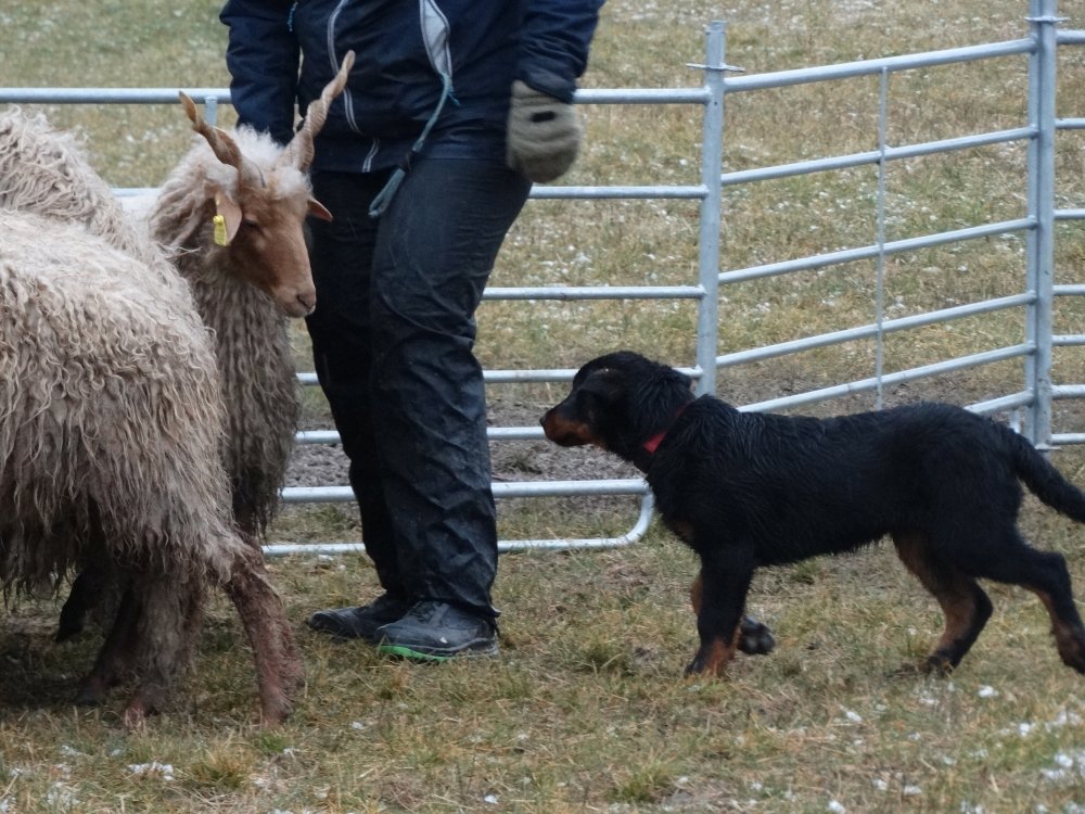 puppy-beauceron-gardiens-du-chaos-herding-training.jpg