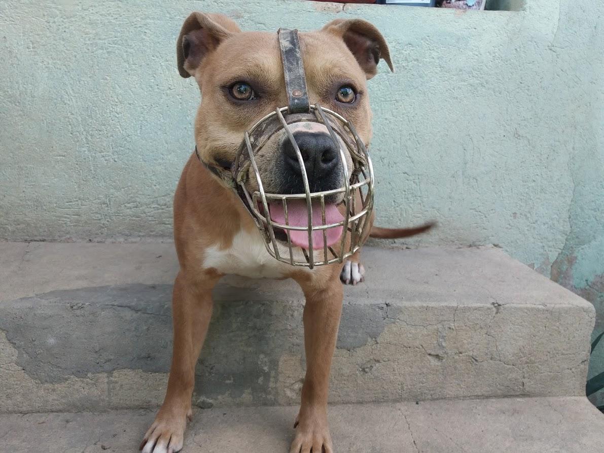 staffordshire-terrier.jpg