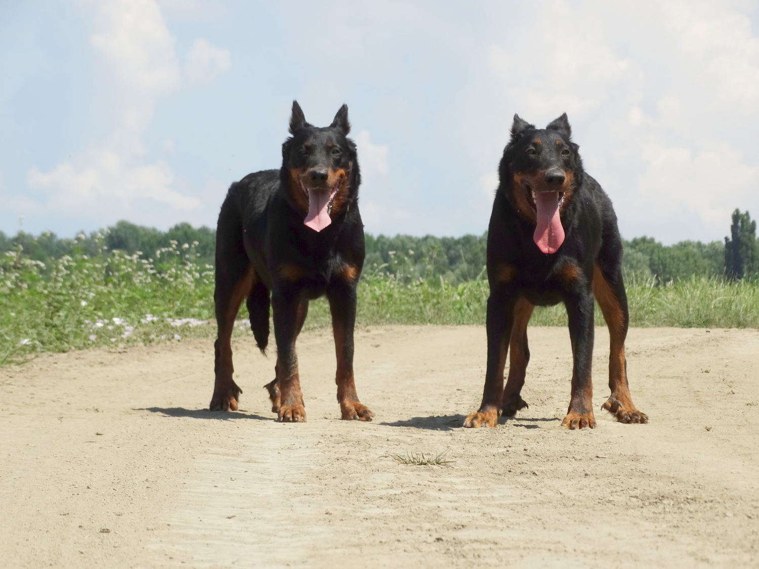 summer-beauceron-herding-dog.jpg