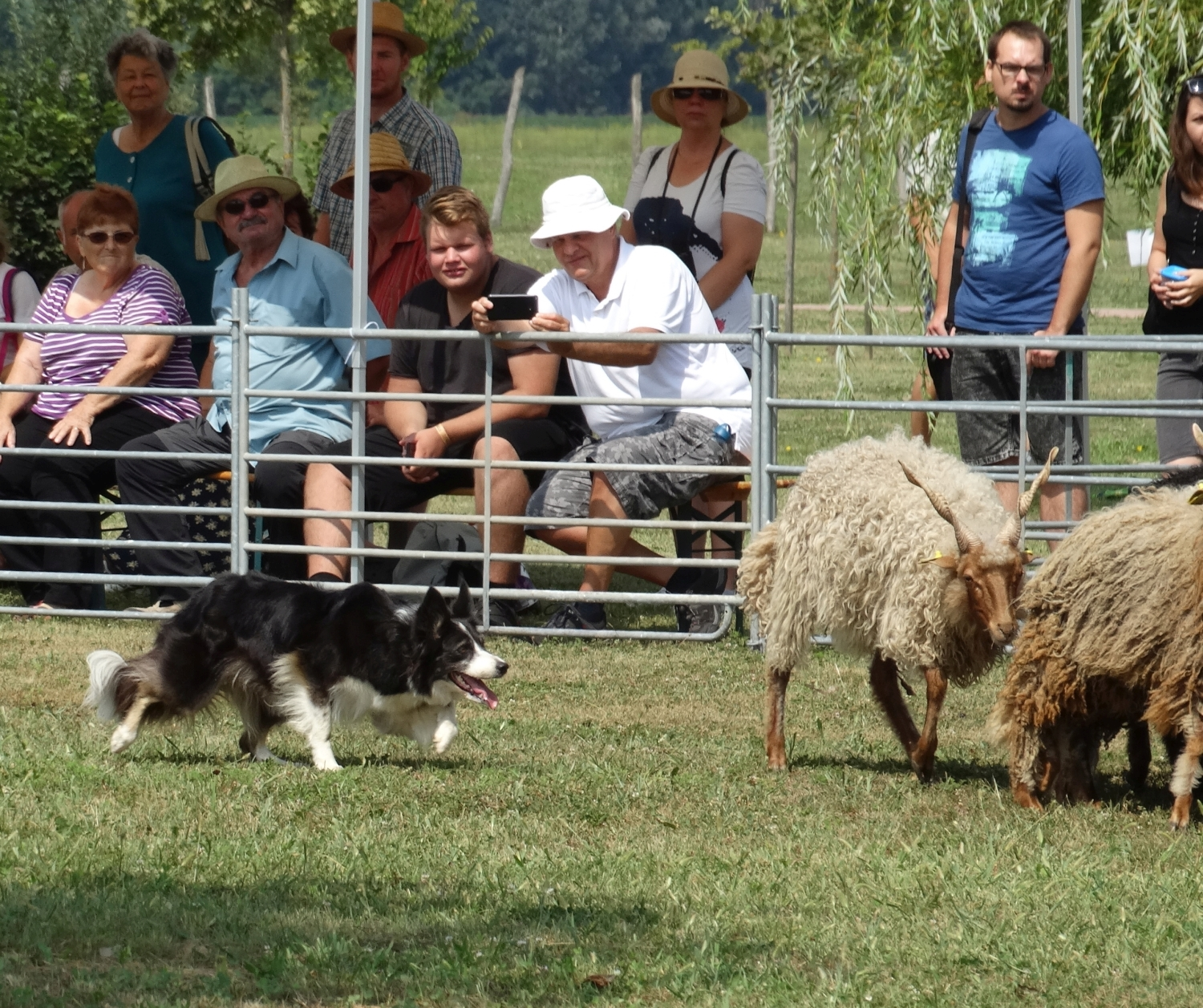 szaporca-tereloverseny-herding-trial-border-collie-nova.jpg