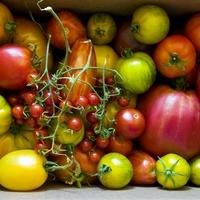 Így termeszthetsz rengeteg paradicsomot, akár az erkélyen is