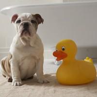 Felejtsd el a méregdrága kutyasampont: készítsd el otthon fillérekből