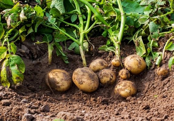 krumpli570.jpg