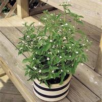 A stevia termesztése