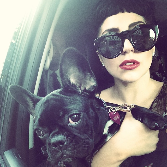 lady-gaga-french-bulldog1.jpg